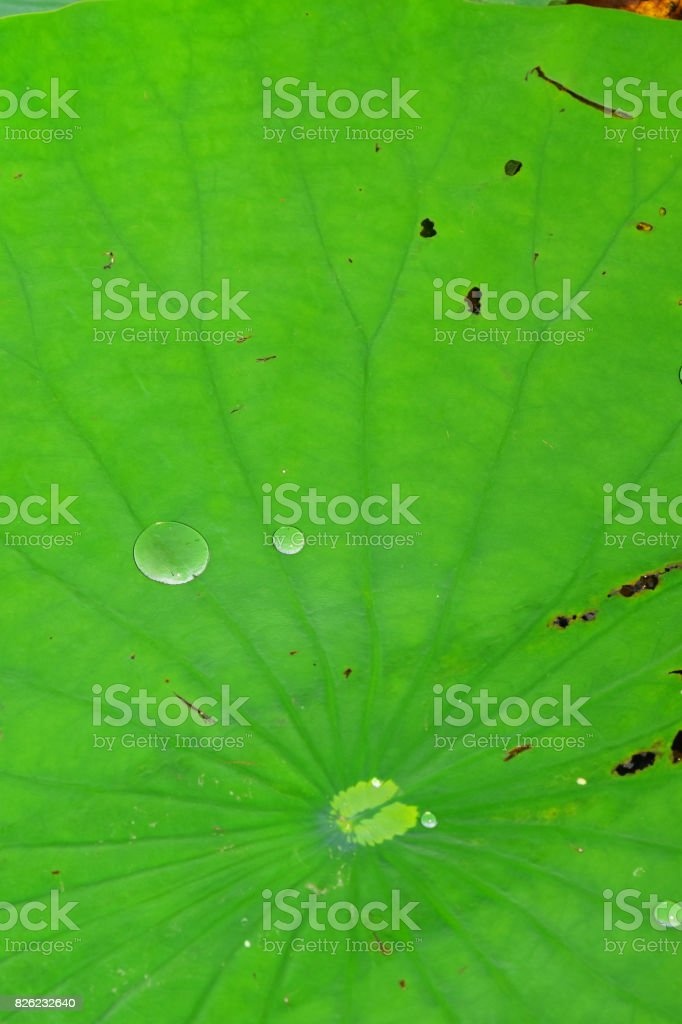 Lily pad center with radiating leaf veins and beading water droplets stock photo