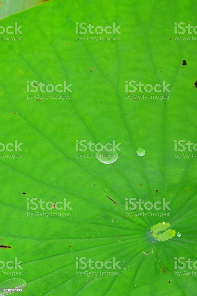 Lily pad center with radiating leaf veins and water droplets stock photo