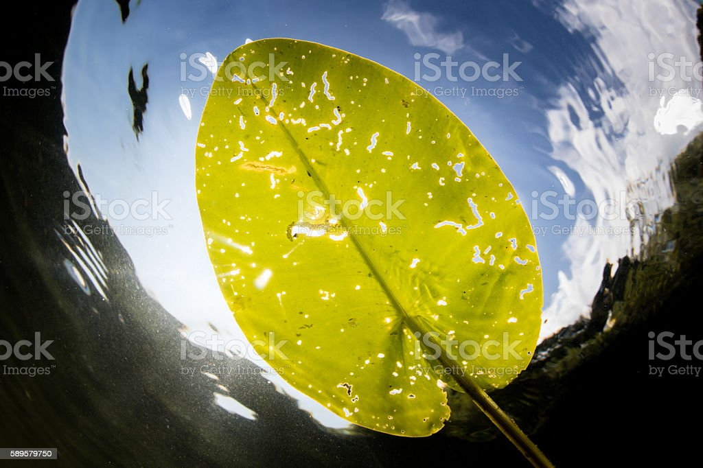 Lily Pad Leaf and Sunlight stock photo