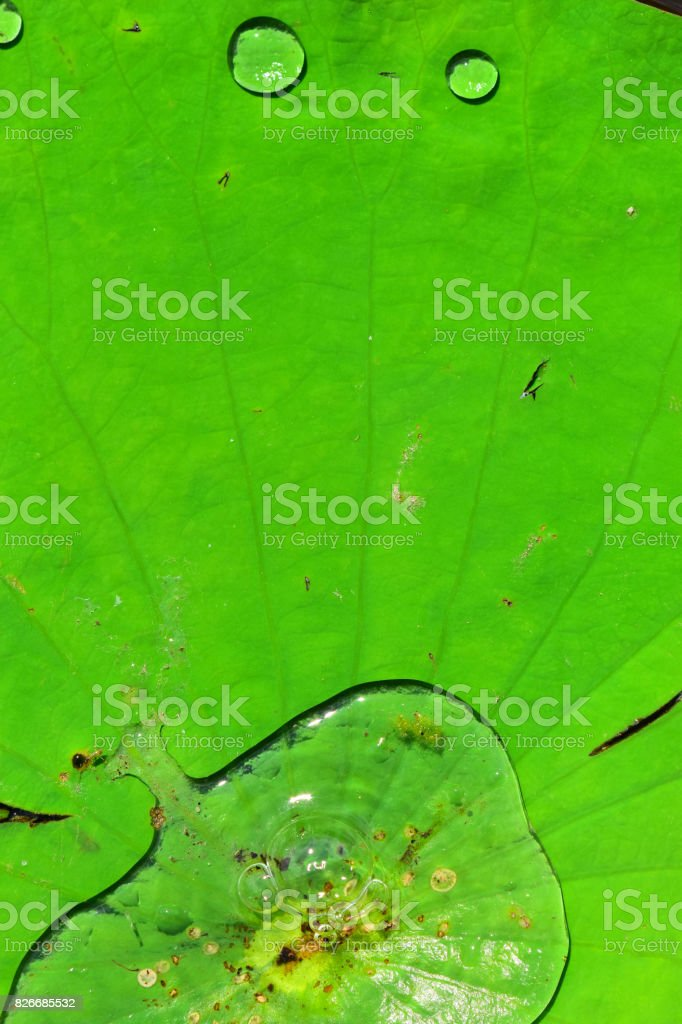 Lily pad with bubbling puddle at center and small drops on leaf edge stock photo
