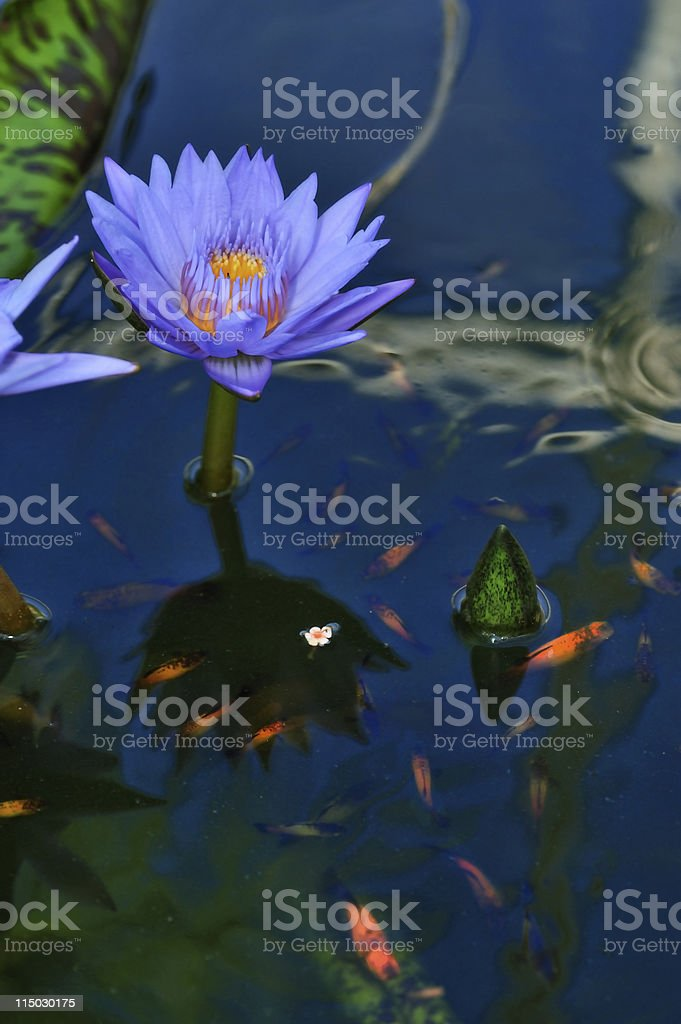 lily pad with koi fish royalty-free stock photo