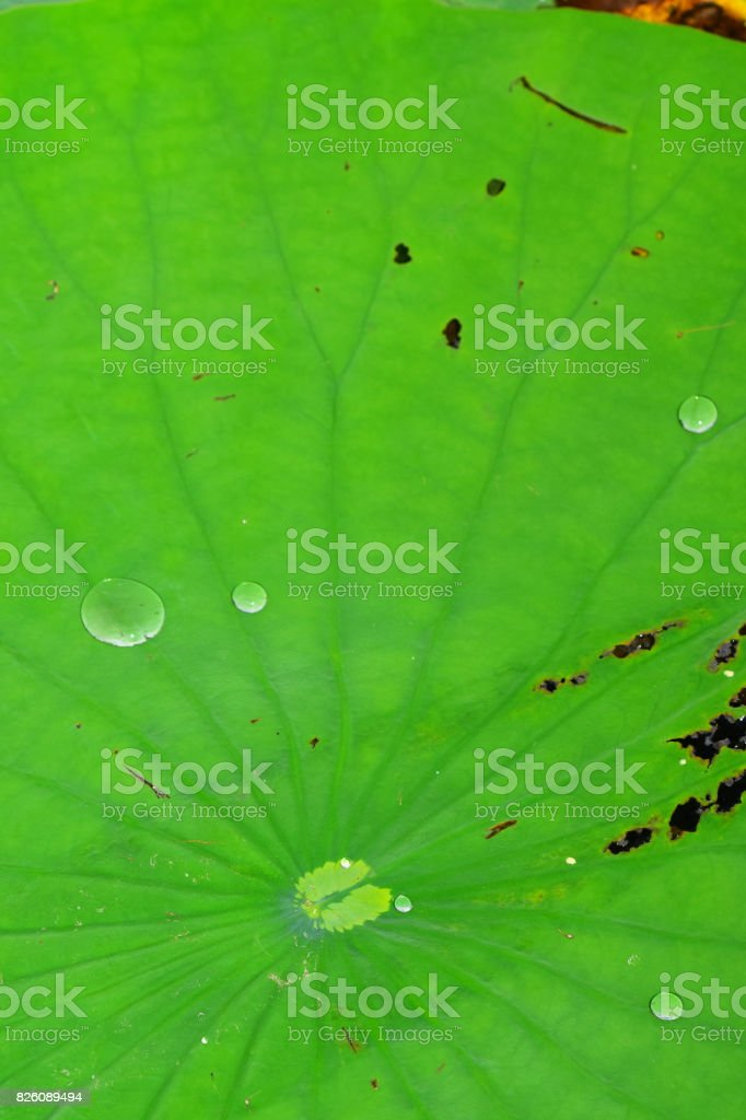 Lily pad with radiating leaf veins and shiny water drop beading up on surface stock photo