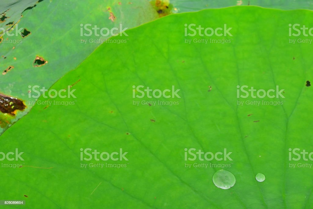Lily pad with radiating leaf veins and shiny water drops stock photo