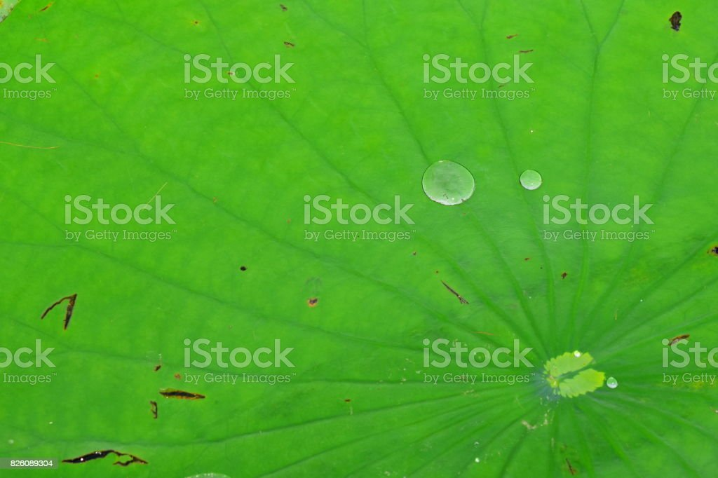 Lily pad with radiating leaf veins and water drops beading up on surface stock photo