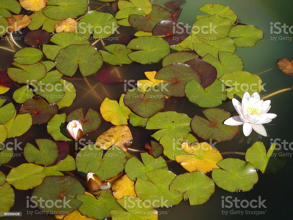 Lily Pads and Flower. royalty-free stock photo