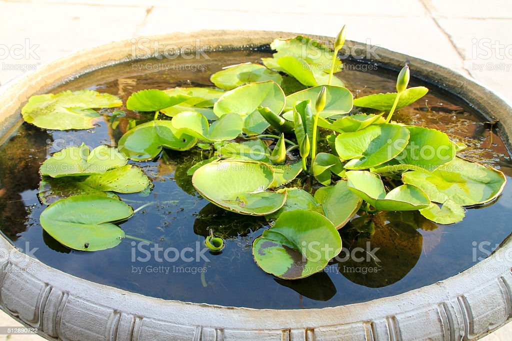 Lily protections dans un grand bol. photo libre de droits