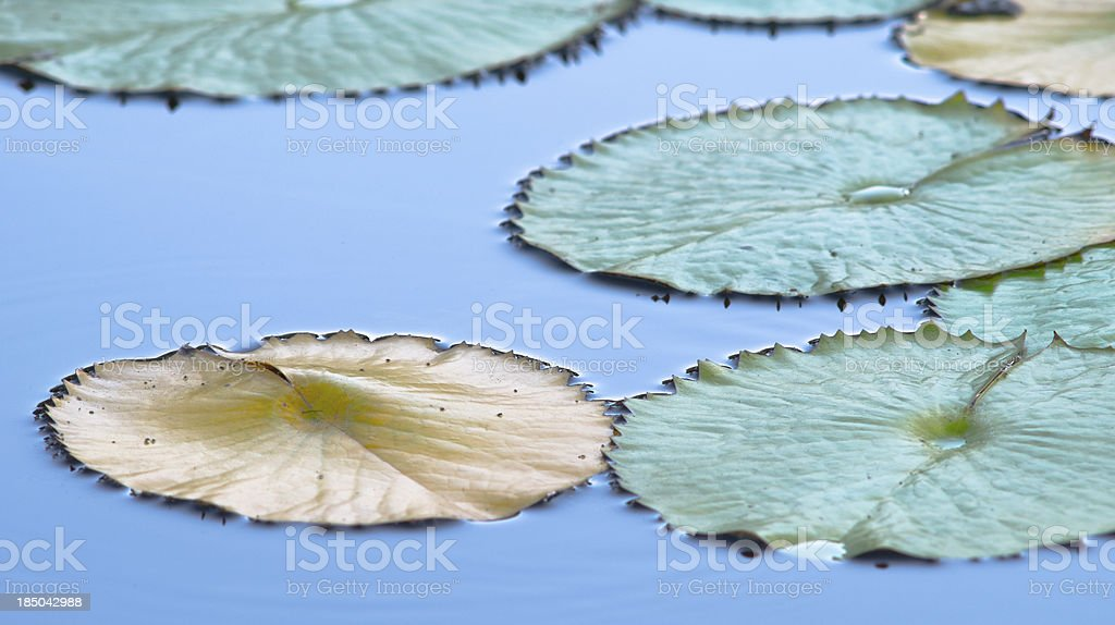 Lily Pads in a Peaceful Pond royalty-free stock photo