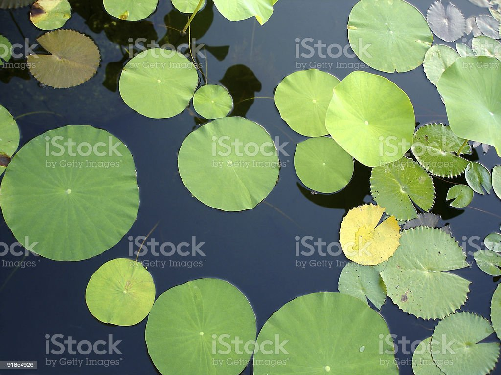 Lily Pads in Pond royalty-free stock photo