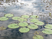 Lily pads in the Amazon
