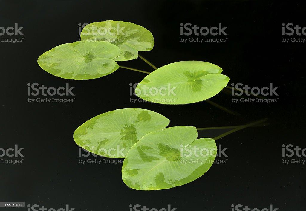 Lily Pads on black pond stock photo