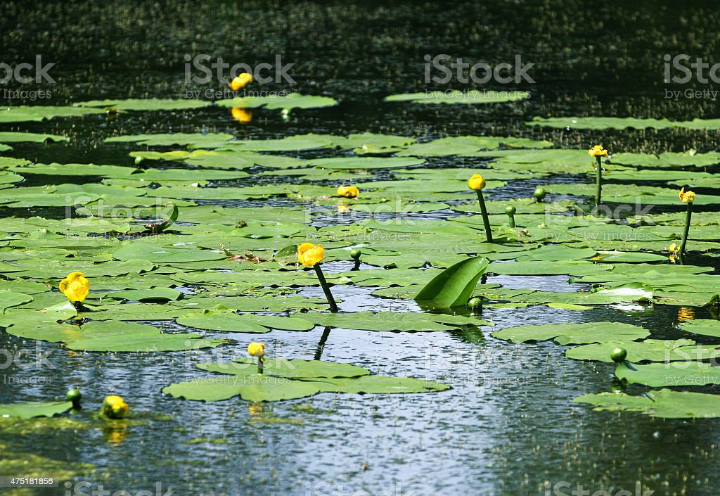 Lily pads on the surface of a pond. stock photo
