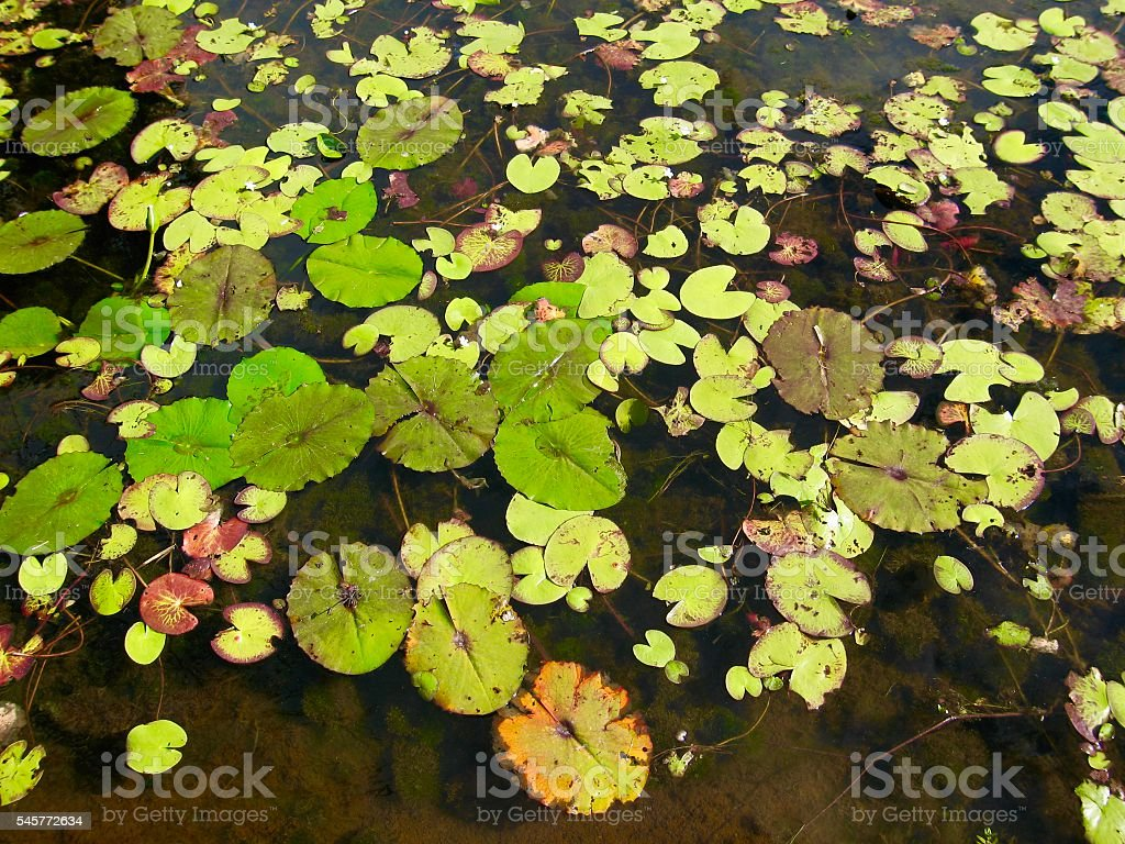 Lily Pads, Waterlily stock photo