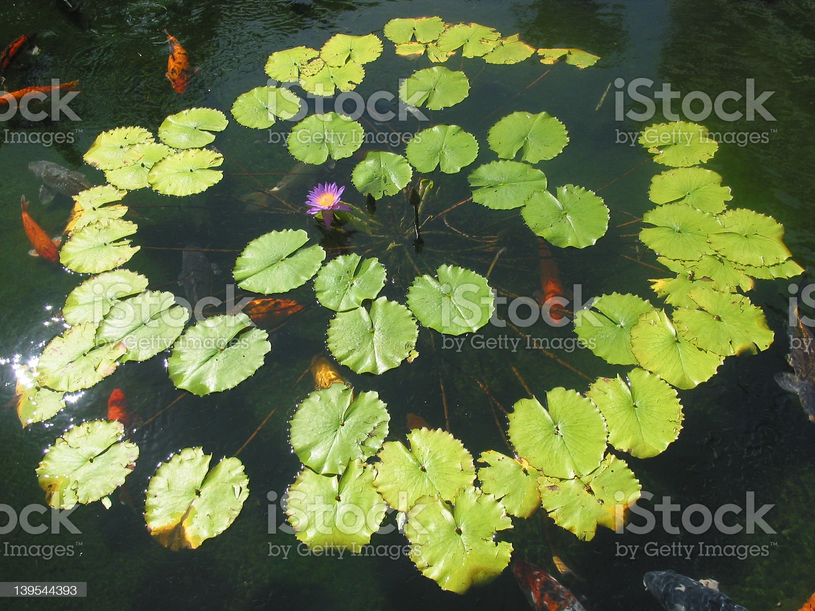 lily pads with coy royalty-free stock photo