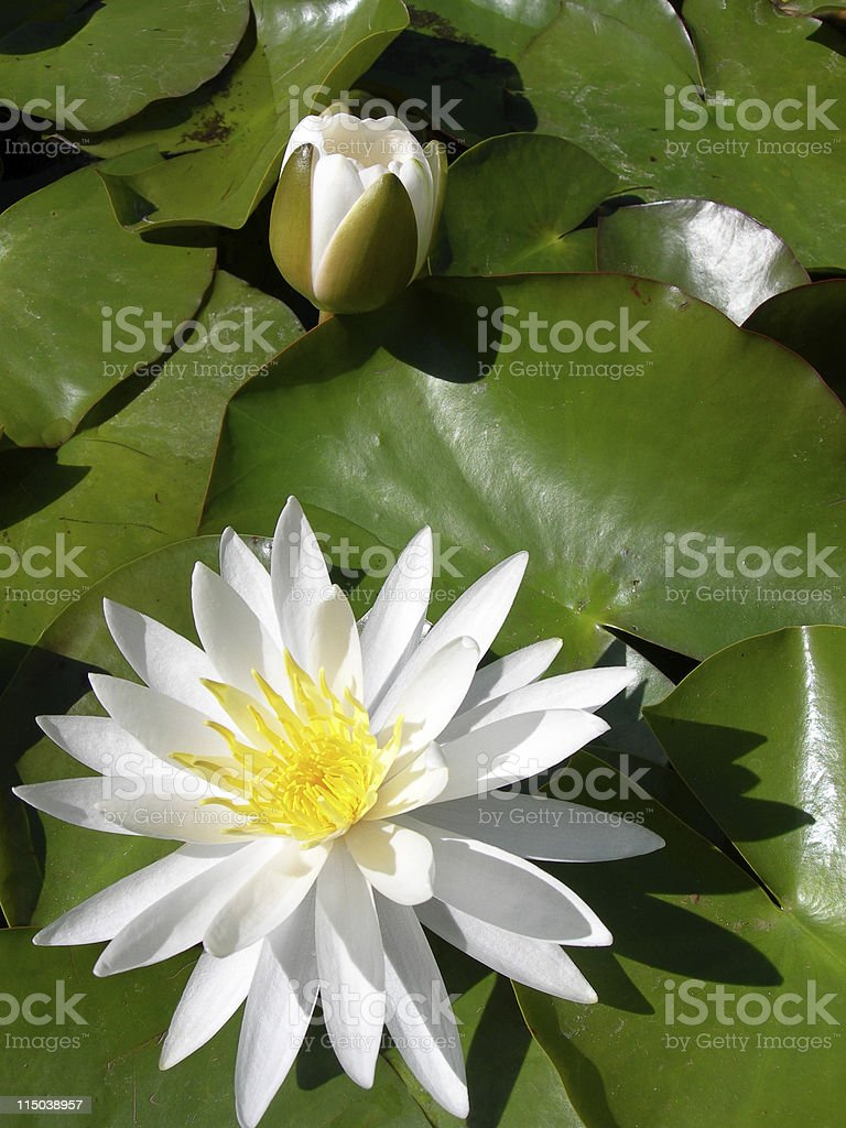 Lily pair royalty-free stock photo