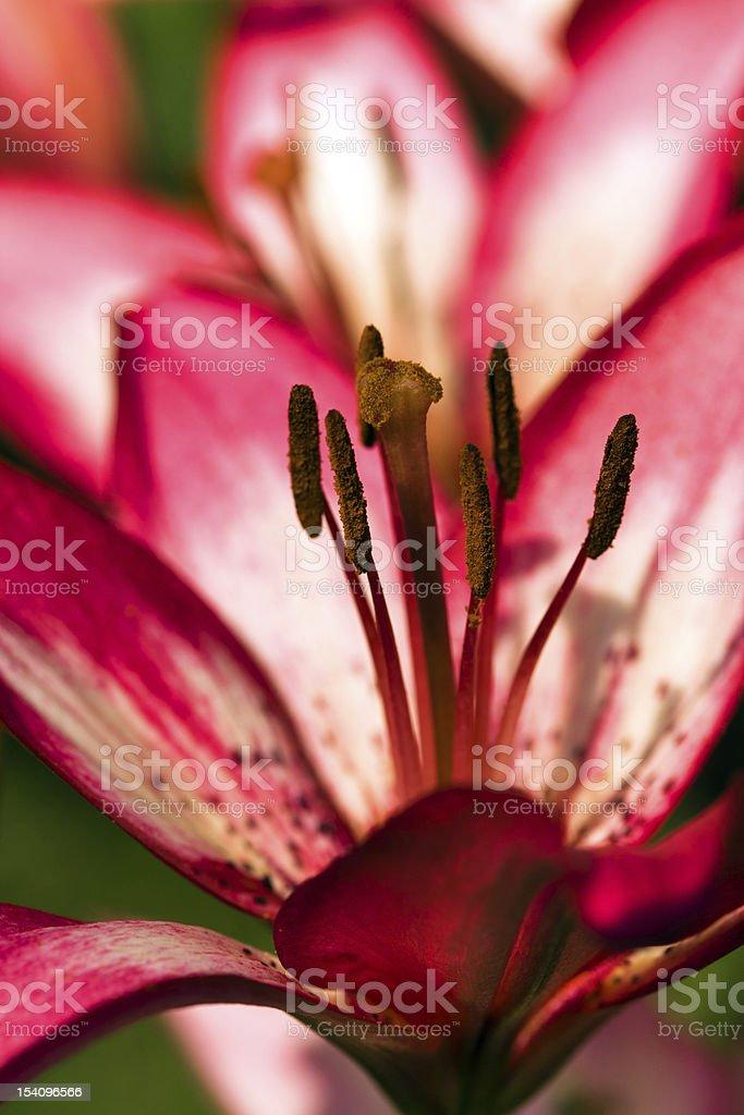 lily (macro) royalty-free stock photo