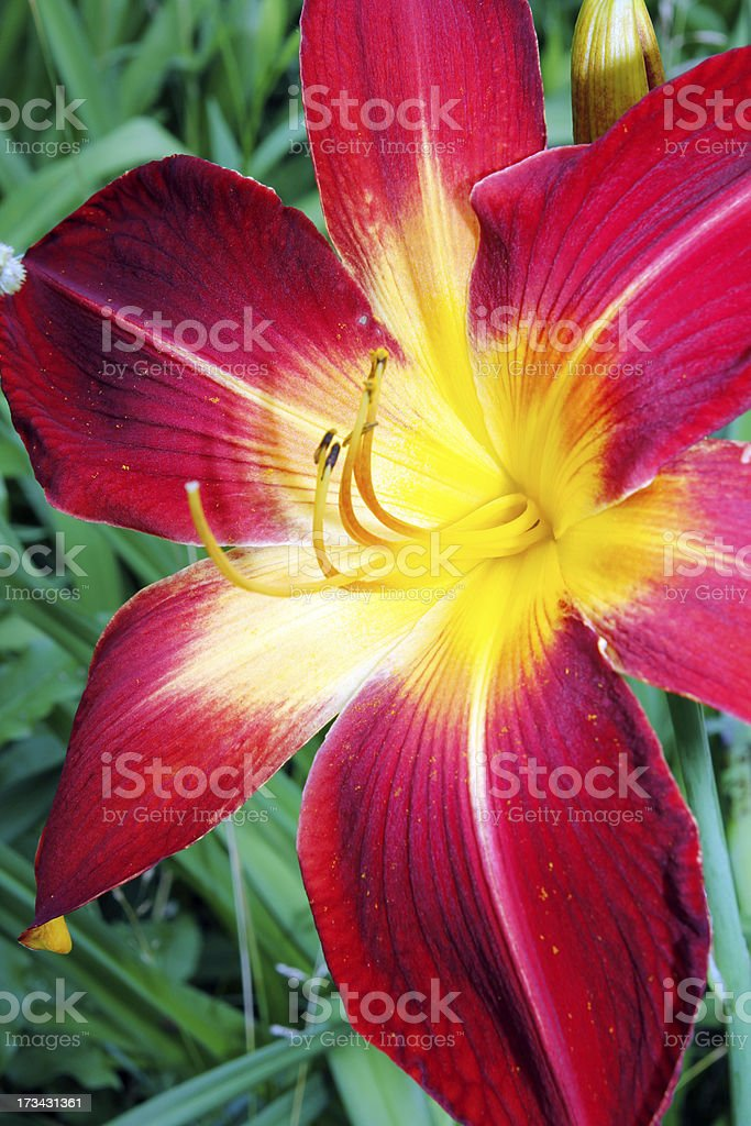 Lily royalty-free stock photo