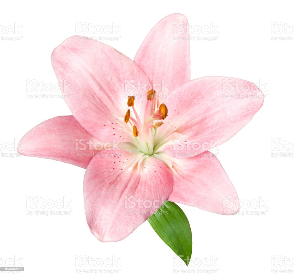 Lily. stock photo