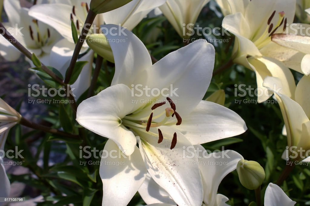 Lily stock photo