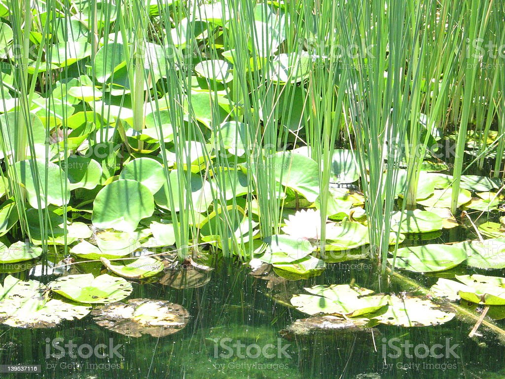 Lily Pond stock photo