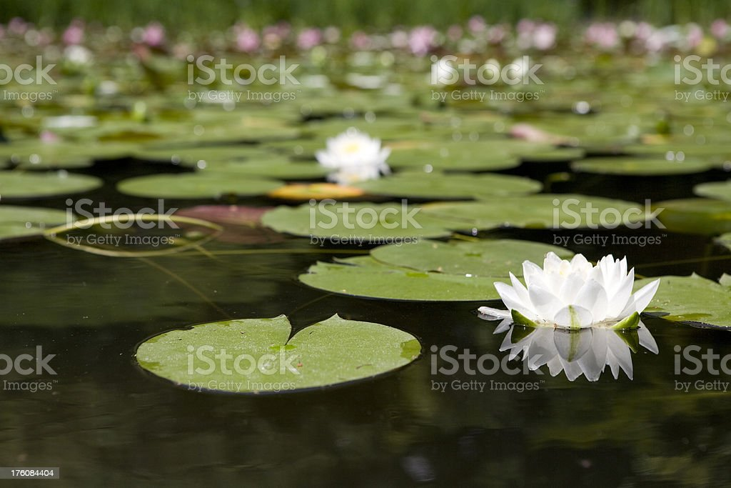 Lily Pond royalty-free stock photo