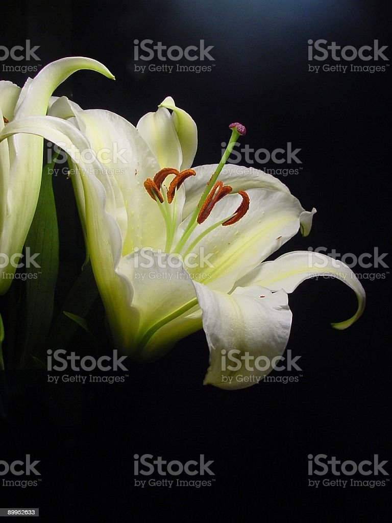 Lily Portrait royalty-free stock photo