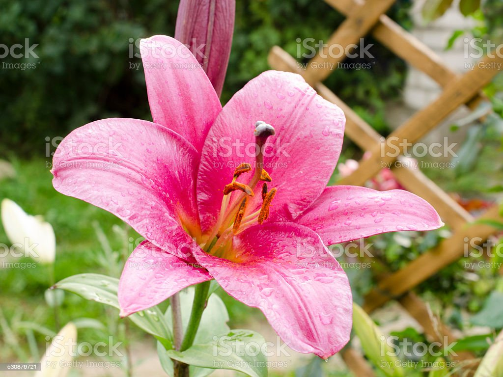 Lily varieties flowers stock photo 530876721 istock lily varieties flowers royalty free stock photo izmirmasajfo