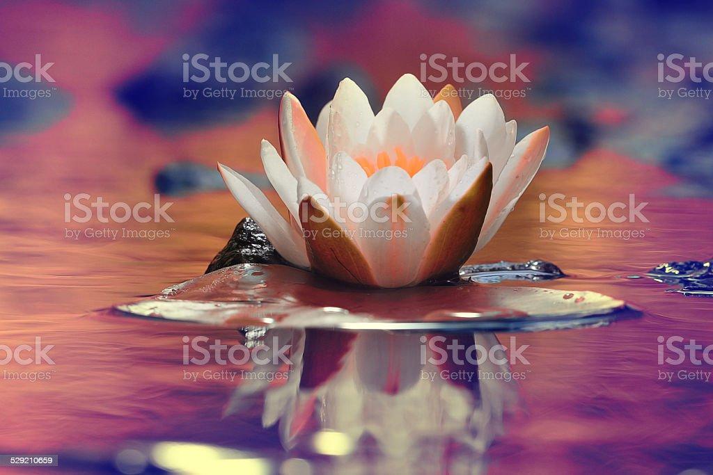 lily white autumn pond stock photo