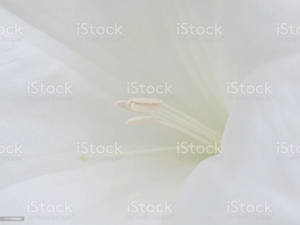 Lily White Flower stock photo