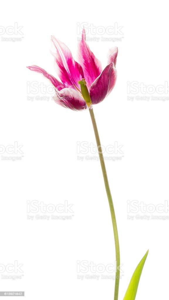 lily white purple tulip flower stock photo