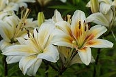 lily white with yellow center
