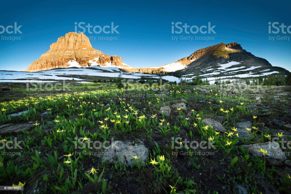 Lily wildflower field Glacier National Park Logan Pass snowfield Reynolds Mountain Montana stock photo