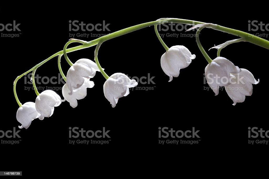 Lily-of-the-valley on black royalty-free stock photo