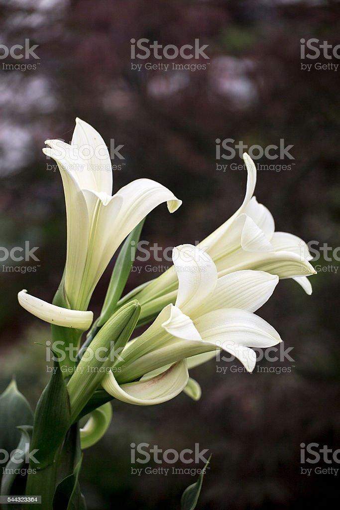 Lilys stock photo