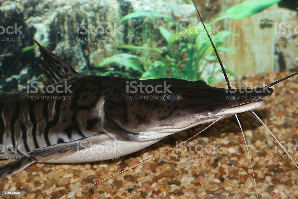 Lima Shovel-nosed Cat. stock photo