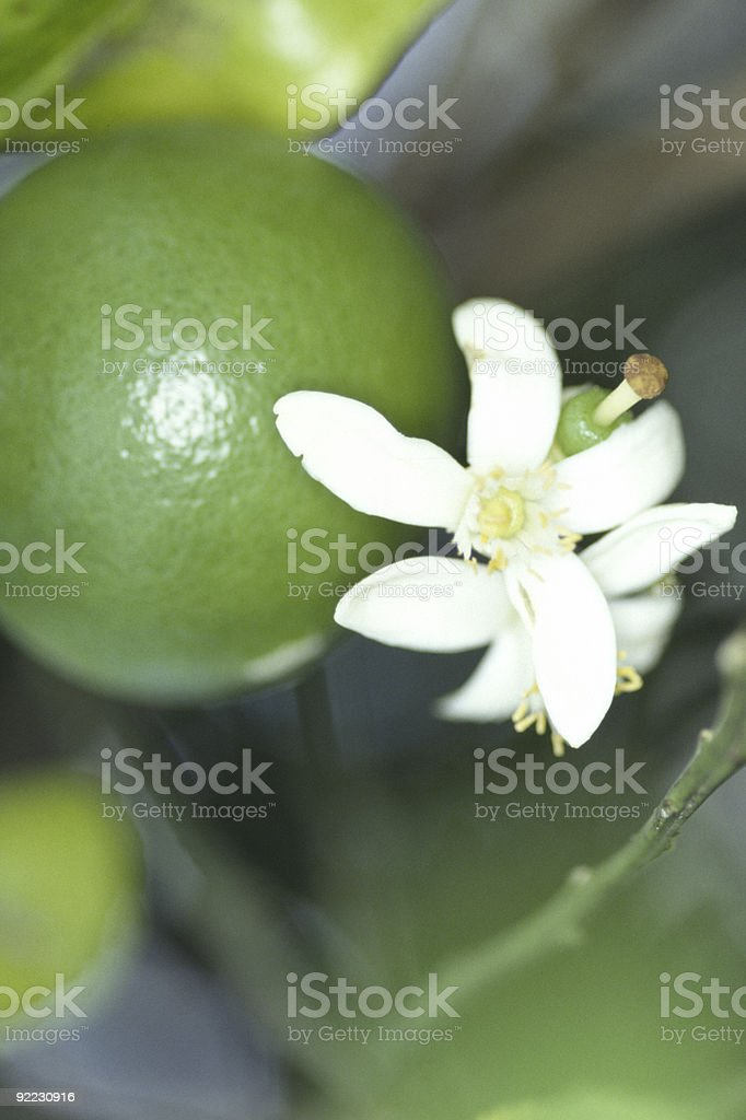 Lime and Blossom royalty-free stock photo