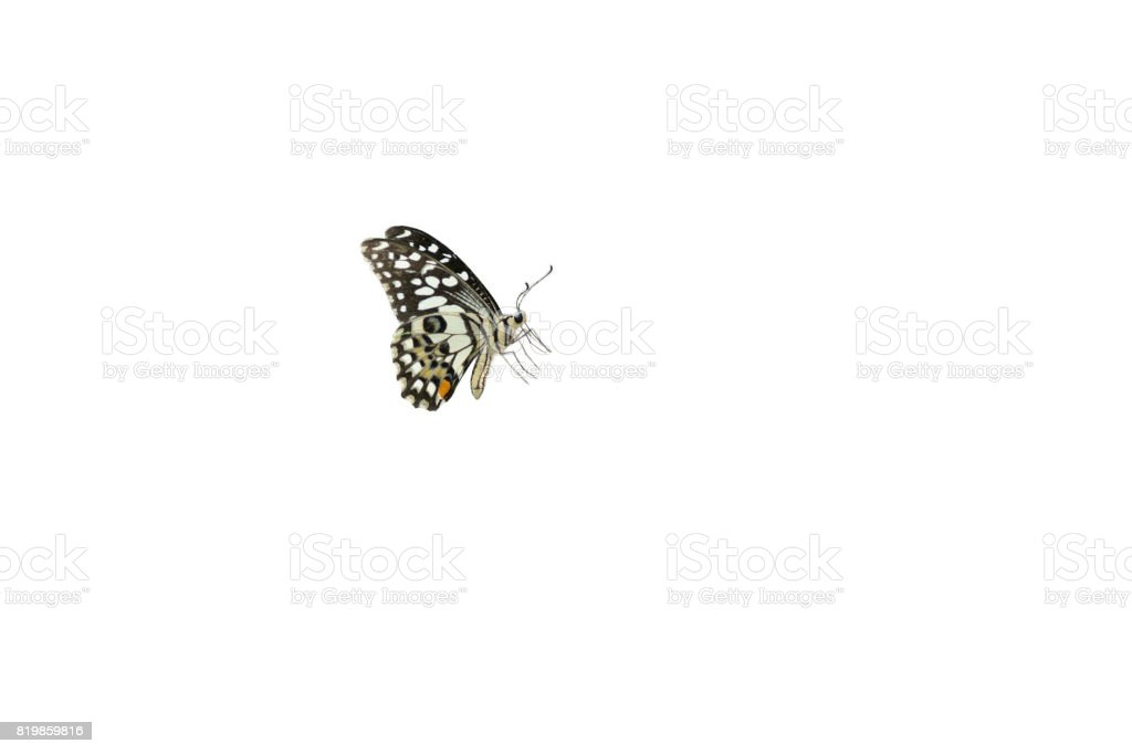 Lime Butterfiy ,isolated on white background stock photo