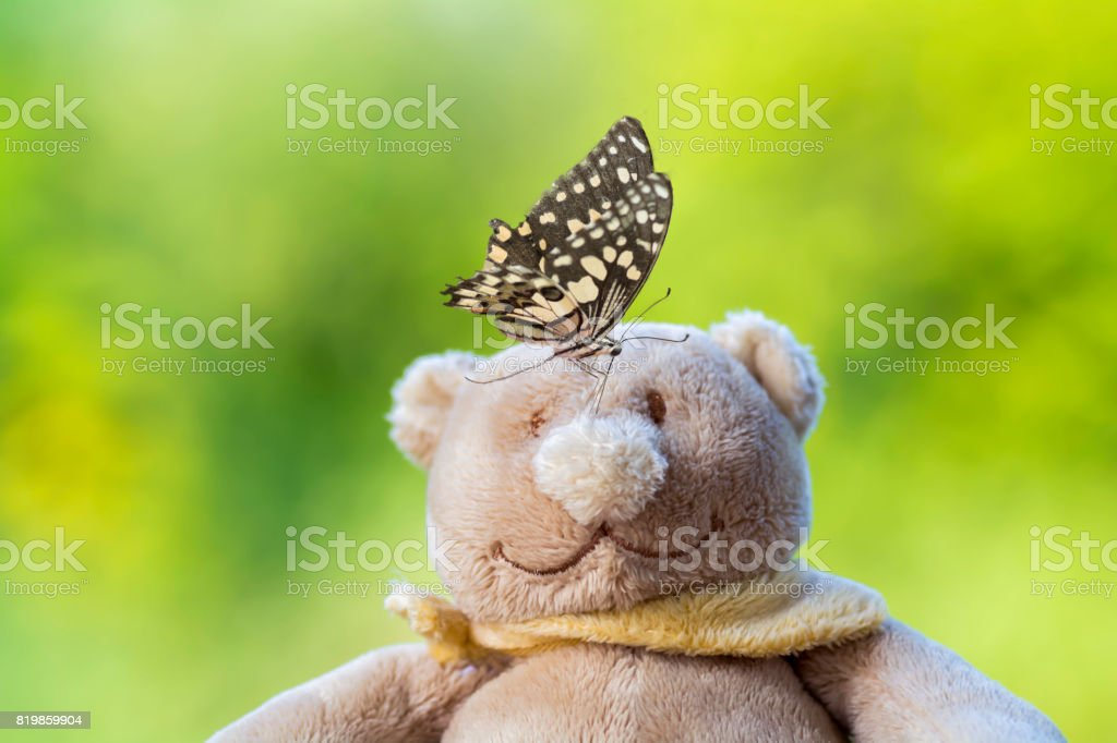 Lime Butterfiy sucking  at face of a brown bear On the background blurred stock photo