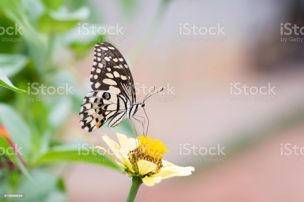 Lime Butterfiy sucking nectar from Zinnia flowers . stock photo