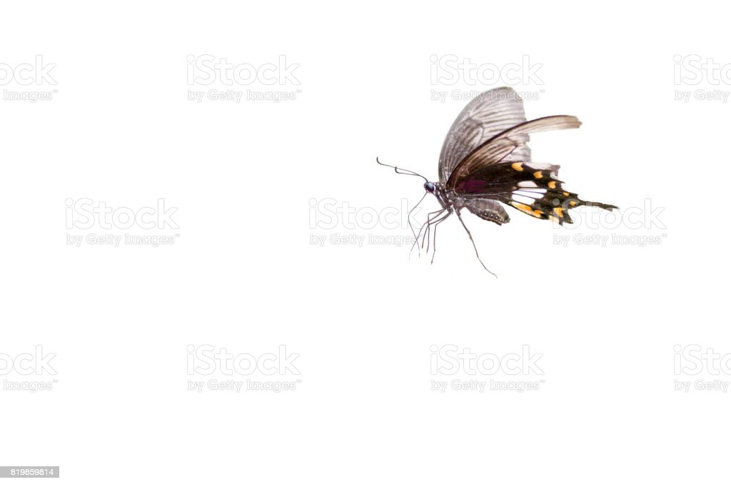Lime  butterflies are flying ,isolated on white background stock photo