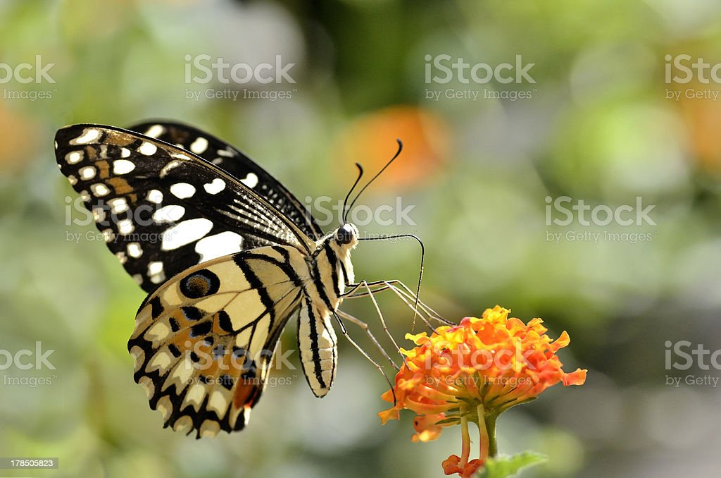 Lime butterfly feeding on flower stock photo