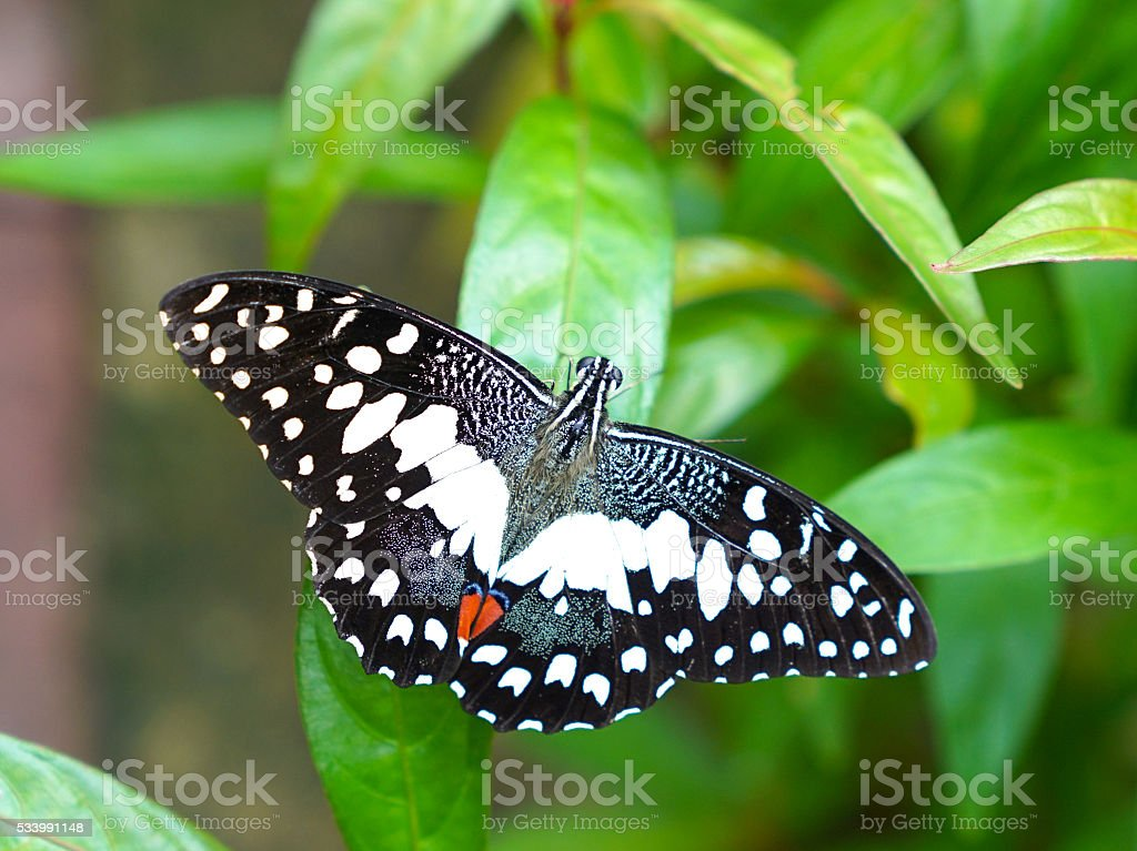 Lime Butterfly in a butterfly garden stock photo