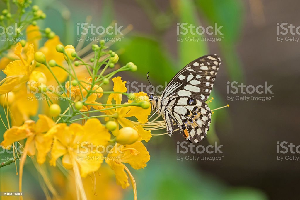 Lime Butterfly in brown and yellow bands with blue spots stock photo