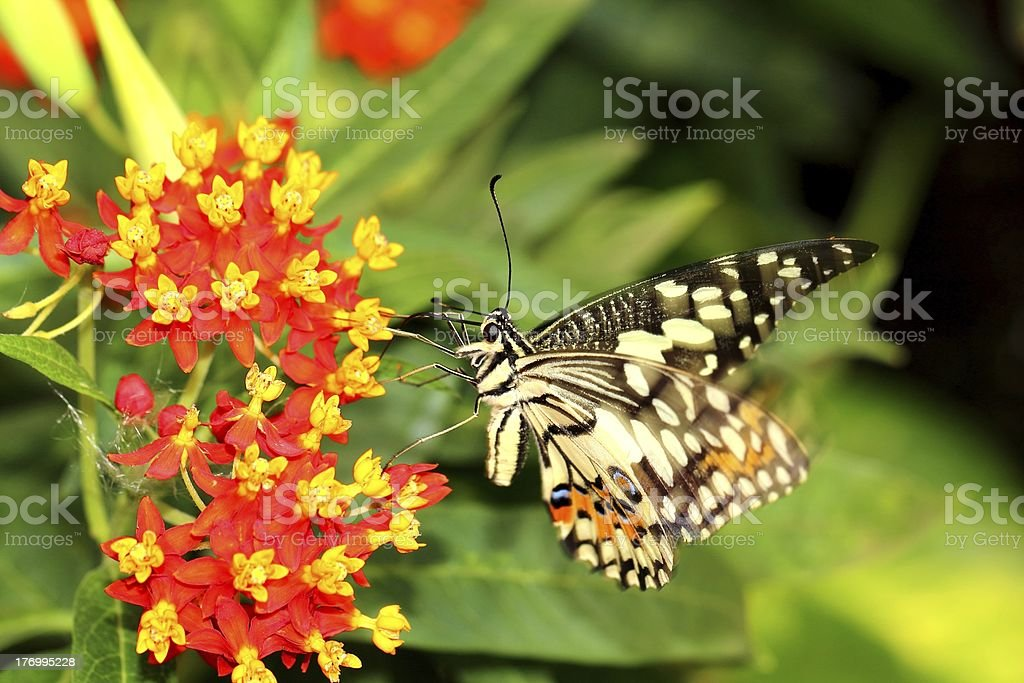 Lime butterfly on a flower royalty-free stock photo