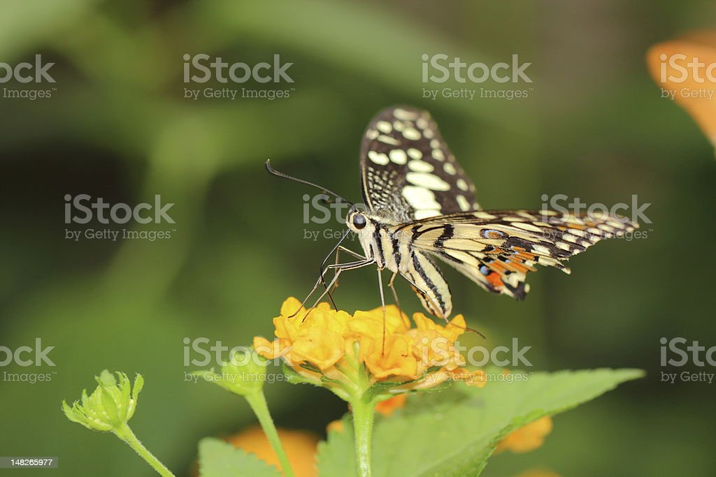 Lime butterfly royalty-free stock photo