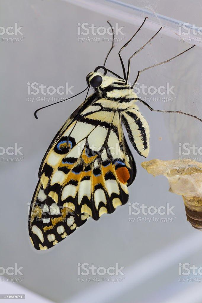 Lime butterfly (Papilio demoleus malayanus) stock photo