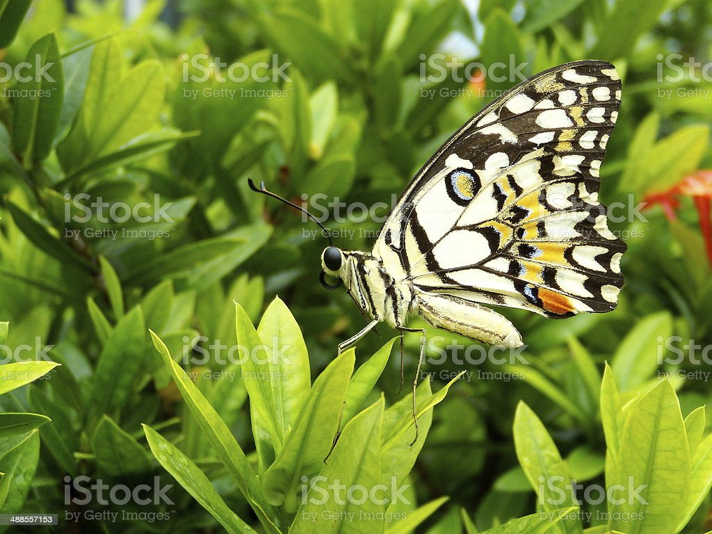 Lime butterfly stock photo
