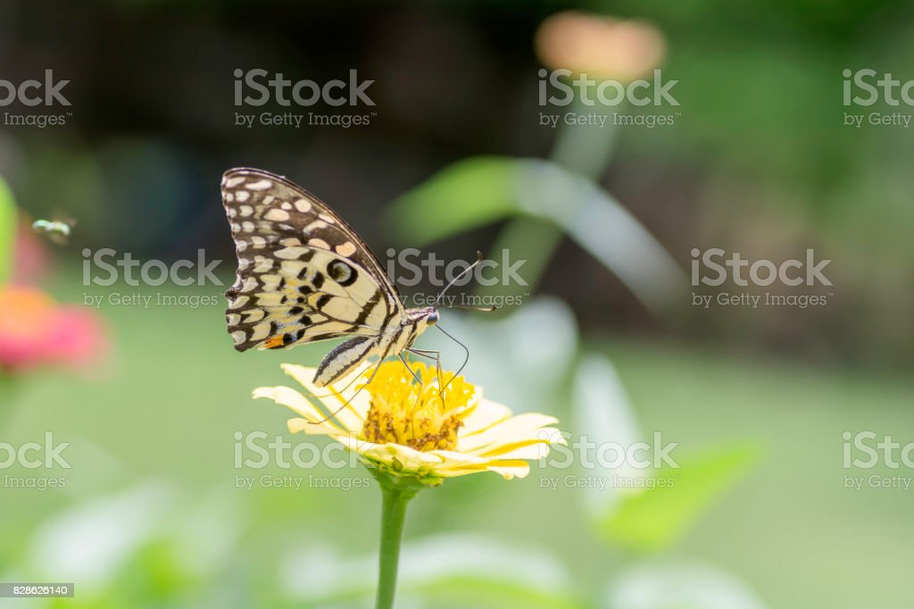 Lime Butterfly sucking nectar from yellow flowers . stock photo