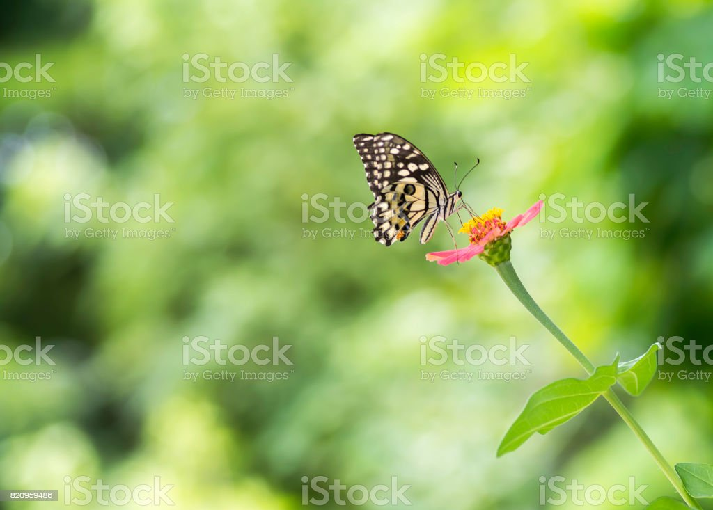 Lime Butterfly sucking nectar from zinnia flower stock photo