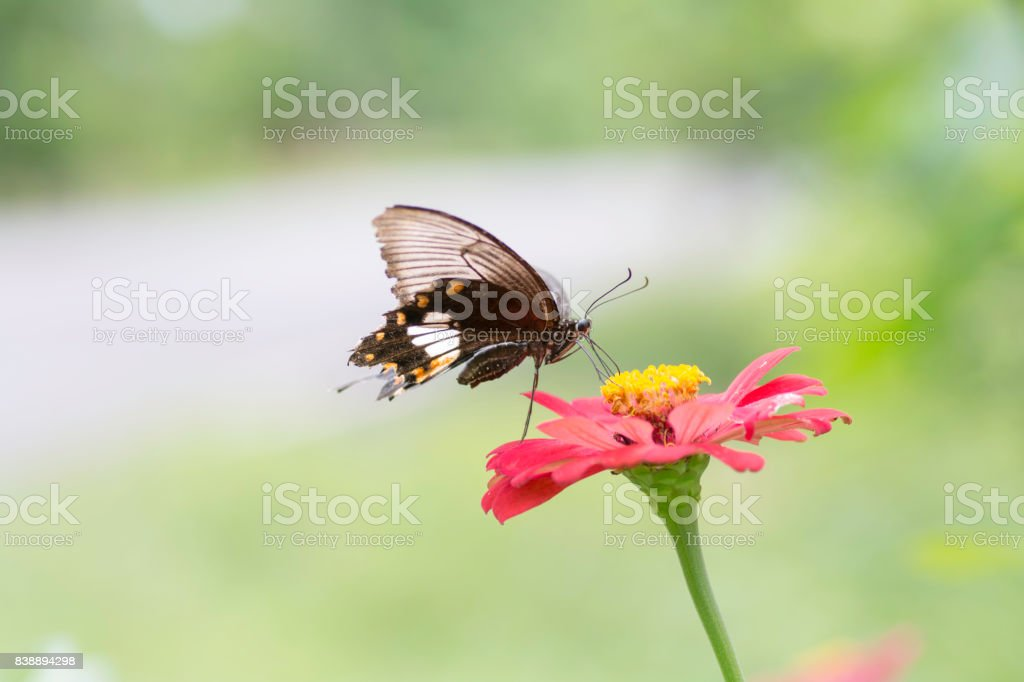 Lime Butterfly sucking nectar from zinnia flowers . stock photo