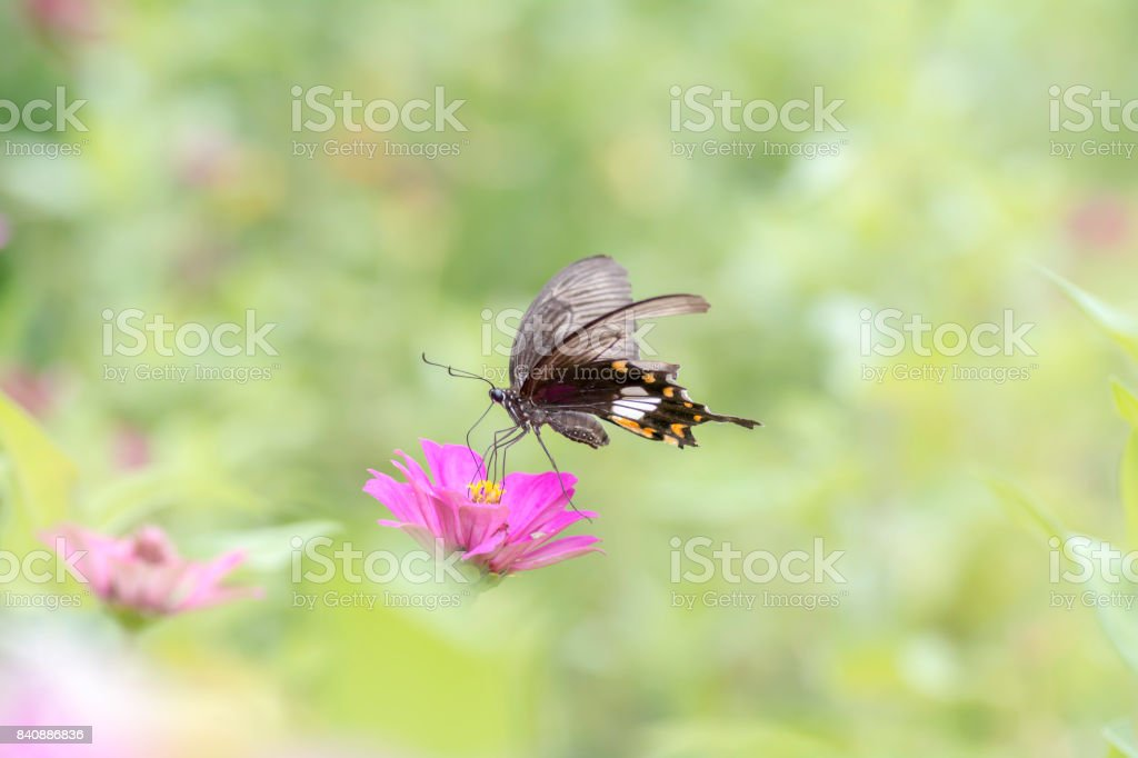 Lime Butterfly sucking nectar from Zinnia pink flowers . stock photo